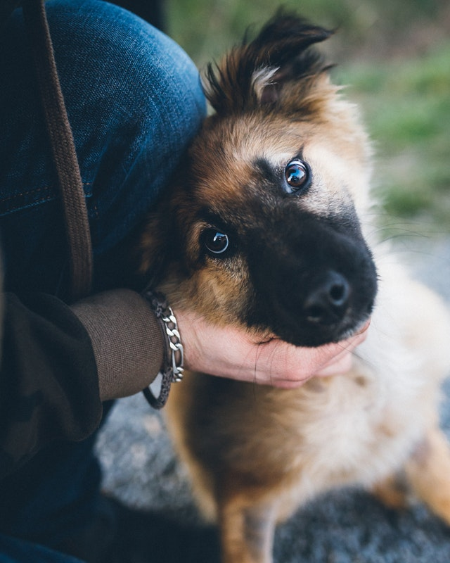 A German Shepherd puppy looking into the camera with its head cocked to the right and cradled in a person's hand. It is very cute.