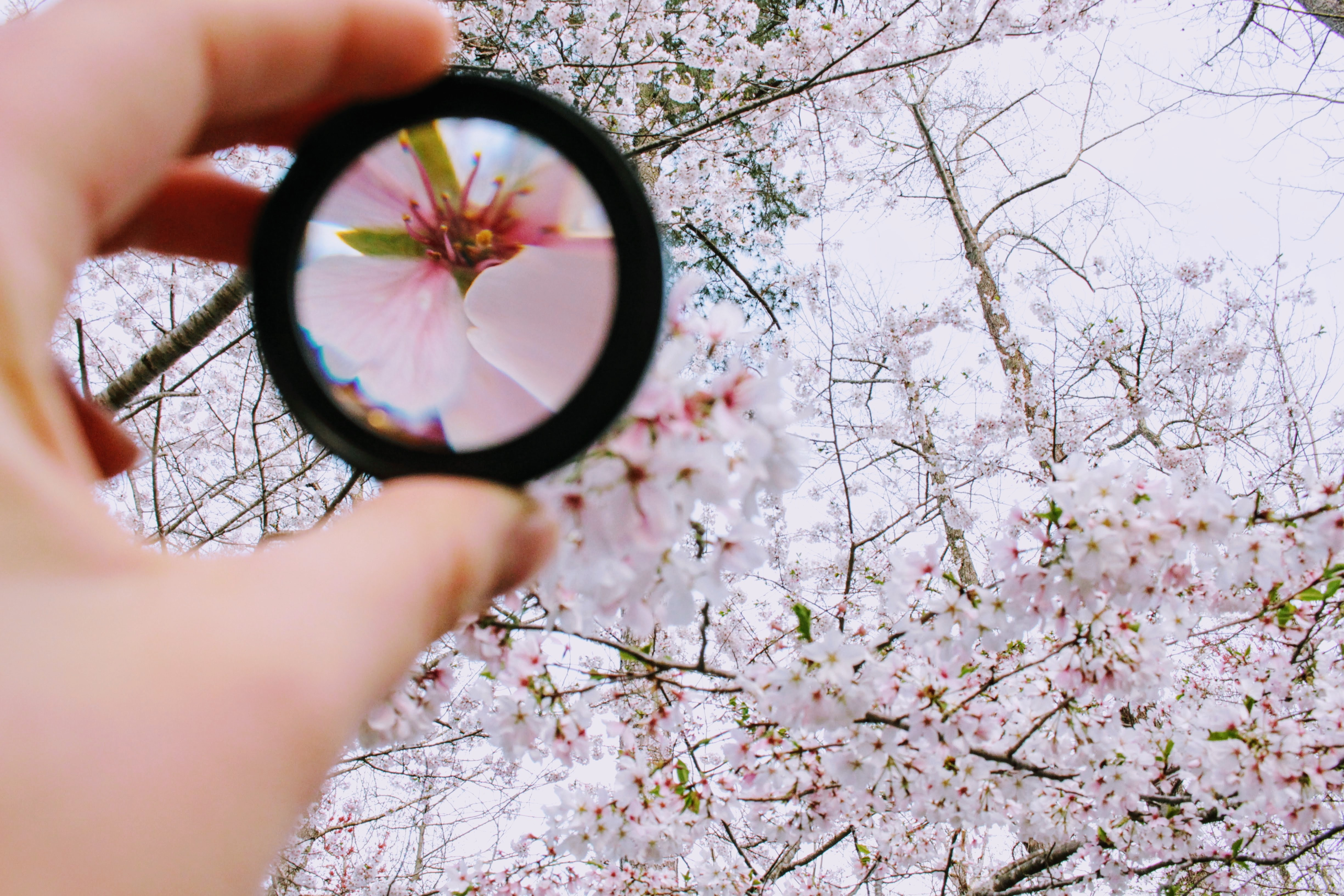 A person holding a looking glass up to a flowering tree to focus on a specific, light pink flower.